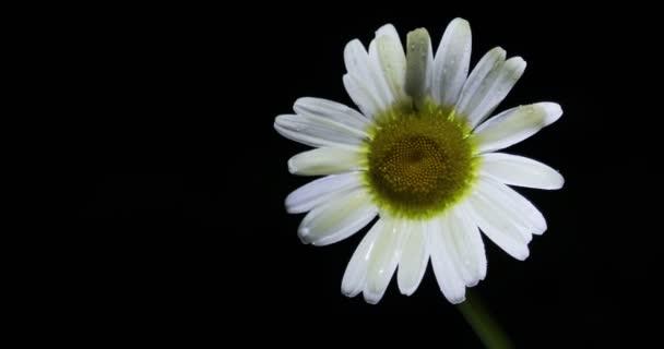 Jeden bílý heřmánkový květ. Zavřete jednoho chamomileblack pozadí. Pojetí přírody. Pojem jarní.