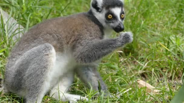 Ring-tailed lemur (Lemur catta) is large strepsirrhine primate and most recognized lemur due to its long, black and white ringed tail. It belongs to Lemuridae. It is endemic to island of Madagascar.