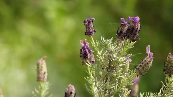 Lavandula stoechas (francouzské levandule, španělský levandule nebo zakončena levandule) je druh rostlin patřící do čeledi Lamiaceae, které se přirozeně vyskytují v zemích Středomoří.
