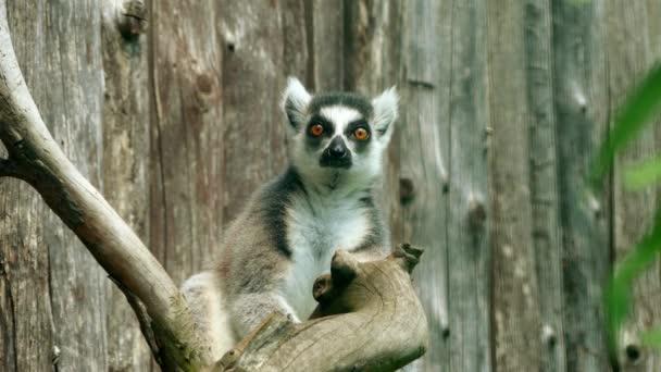 Gyűrűsfarkú foemlosök () prímás nagy strepsirrhine és legelismertebb maki miatt a hosszú, fekete-fehér gyűrűs farka. Makifélék közé tartozik. Madagaszkár szigetén honos.