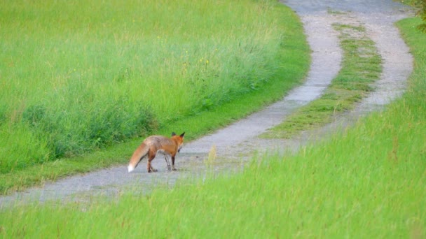 Red fox goes on road. Red fox (Vulpes vulpes), largest of true foxes, has greatest geographic range of all members of Carnivora family.