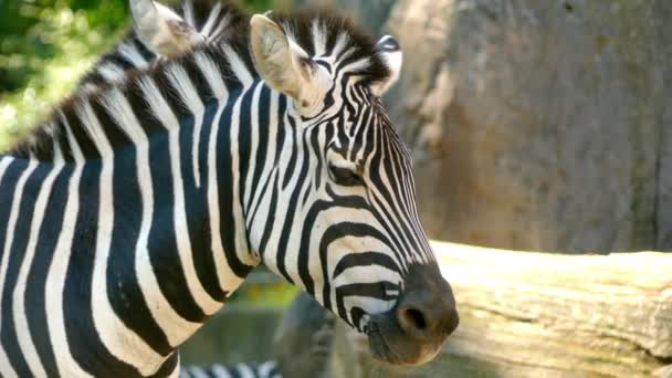 Zebras are several species of African equids (horse family) with distinctive black and white striped coats. There are three species of zebras: plains zebra, Grevys zebra and mountain zebra.