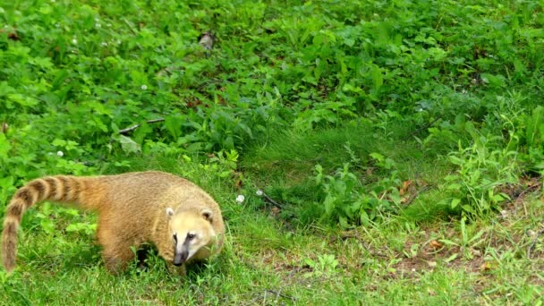 Nasua is a genus within the family Procyonidae, whose best-known members are raccoons. The two species as coatis. Two additional species of mountain coatis are placed in the genus Nasuella.