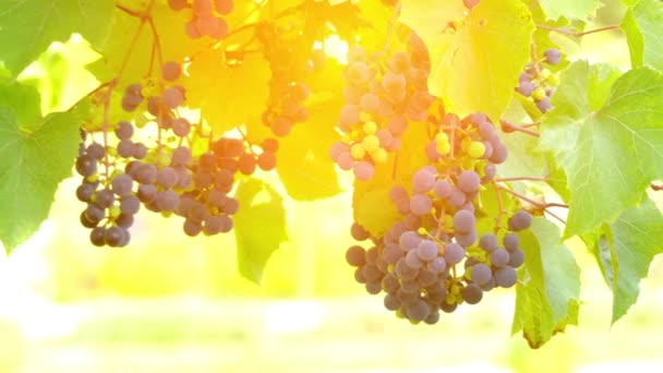 Grapes on vine, lit by sunlight. Vitis (grapevines) is a genus of 79 accepted species of vining plants in the flowering plant family Vitaceae.
