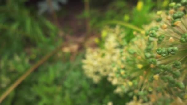 Allium stipitatum, Persian shallot, is an Asian species of onion native to Turkey, Iraq, Iran, Pakistan, Afghanistan, Turkmenistan, Tajikistan, Uzbekistan, Kyrgyzstan, and Kazakhstan.