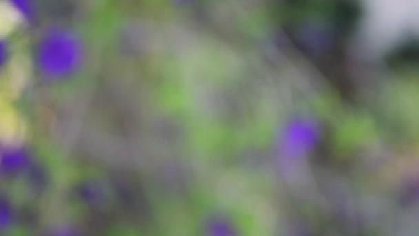 Lycianthes rantonnetii (modrý brambor bush) je druh rostlin patřící do čeledi lilkovitých. To je původní v Brazílii, Bolívii, Argentině a Paraguay.Cultivated jako okrasné světa.