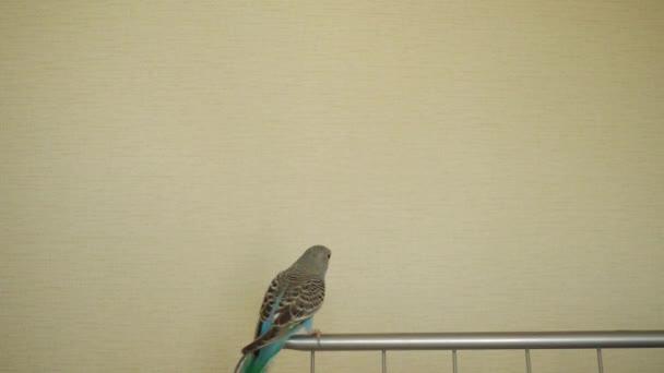 Slow Motion: Andulka letí. Papoušek vlnitý (Melopsittacus undulatus), také známý jako běžné domácí papouška nebo shell papouška a neformálně přezdívaný andulku, je malé, orel, upolínu papoušek