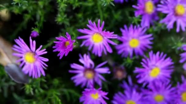 Symphyotrichum-Novae (Aster novae-angliae), běžně známý jako New England aster, chlupatý Michaelmas sedmikráska nebo Michaelmas daisy, je vytrvalá rostlina kvetoucí v rodině Asteraceae