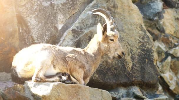 Die Sibirische Steinböcke (Capra Sibirica) ist eine Art von Steinböcken, die in Zentralasien lebt. Es wurde traditionell als eine Unterart der Alpensteinbock behandelt