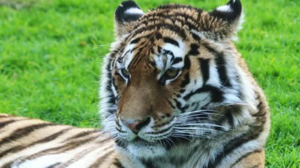 A bengáli tigris, más néven a királyi bengáli tigris (Panthera tigris), a legtöbb számos tigris alfajtól. A nemzeti állat, India és Banglades.