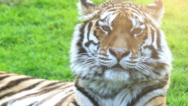 Tygr bengálský neboli Královský tygr bengálský (Panthera tigris), je většina četné poddruh tygra. Je to národní zvíře Indie a Bangladéš