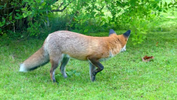 Red fox in the wild habitats. The red fox (Vulpes vulpes), largest of the true foxes, has the greatest geographic range of all members of the Carnivora family.