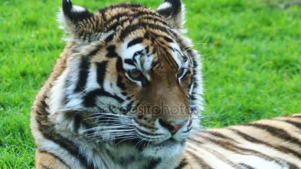 4 k bengáli tigris, más néven a királyi bengáli tigris (Panthera tigris), a legtöbb számos tigris alfajtól. A nemzeti állat, India és Banglades.