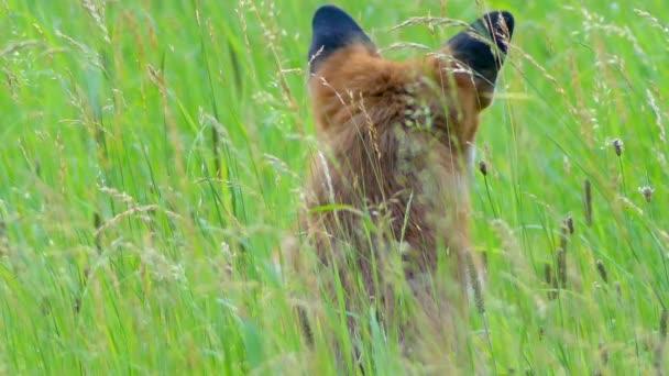 Red fox v divokých stanovišť. Liška obecná (Vulpes vulpes), největší pravda lišek, má největší biotop všech členů rodiny šelmy: