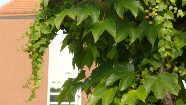 Parthenocissus tricuspidata is a flowering plant in grape family (Vitaceae) native to eastern Asia in Japan, Korea, and China. It is deciduous woody vine growing to 30 m tall or more.