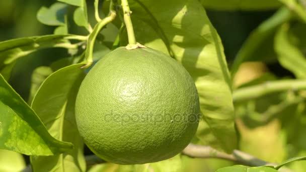 Citrus maxima (nebo Citrus grandis), (běžné názvy: pomelo, pomello, pummelo, pommelo, pamplemousse, jabong (Havaj), shaddick nebo shaddock) je přírodní citrusové plody (hybridní) s grapefruity