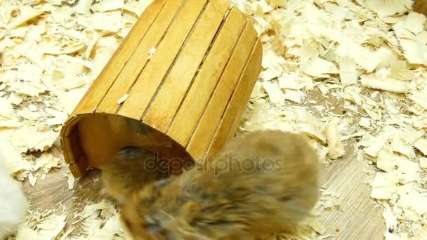 Goldhamster (Mesocricetus auratus) ist ein Mitglied der Unterfamilie cricetinae, den Hamstern. Syrische Hamster in Gefangenschaft werden oft als Haustiere gehalten.