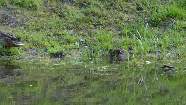 Mallard ducklings in water. Mallard or wild duck (Anas platyrhynchos) is a dabbling duck, belongs to the subfamily Anatinae of the waterfowl family Anatidae.