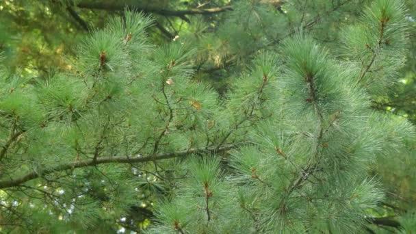 grand Pinus mamans n garçons porno