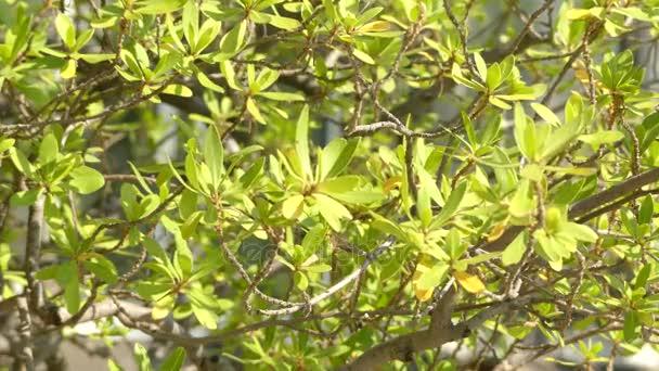 Diospyros pallens z Jižní Afriky. Diospyros je rod více než 700 druhů listnatých a stálezelených stromů, keřů a malé keře