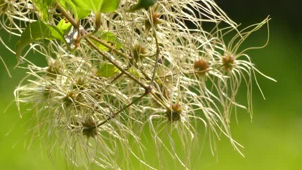 Erdei iszalag (Old man szakáll és a Travellers öröm) a cserje, Ranunculaceae család. Bolyhos mögöttes sepals illatos zöldes fehér virágok.