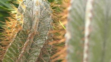 Fókusz átadása: Astrophytum ornatum, más néven bishops cap, a központi fennsík Mexikóban endemikus faj. Ez a legnagyobb és legmagasabbhoz faj Astrophytum