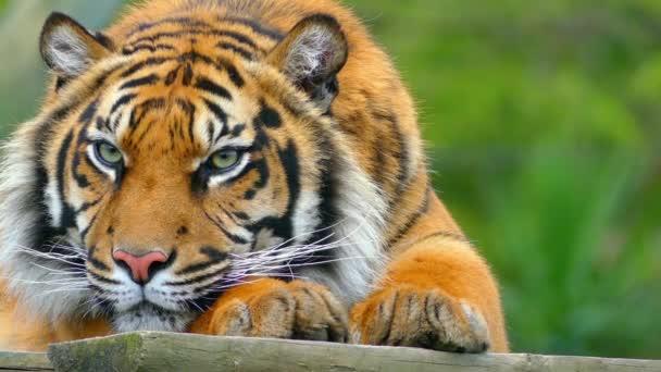 Királyi bengáli tigris (Panthera tigris), a legtöbb számos tigris alfajtól. India és Banglades nemzeti állat.