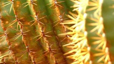 Fókusz átadása: Ferocactus histrix osztályának Ferocactus Mexikóból