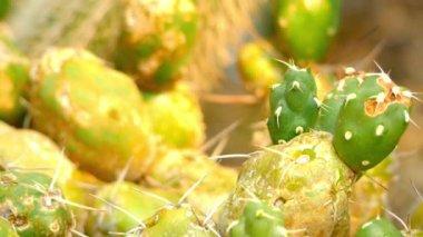 Fókusz átadása: Cereus-ből. Cereus a kaktuszok (Cactaceae család) neme, beleértve mintegy 33 faj nagy oszlopos kaktuszok Dél-Amerikából. Név származik görög: viasz vagy fáklya