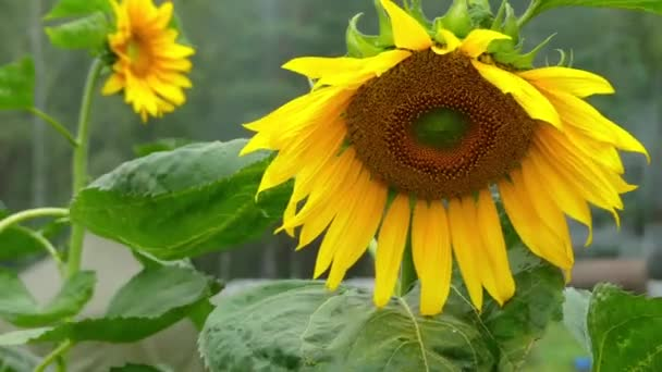 Helianthus annuus, common sunflower, is large annual forb of genus Helianthus grown as crop for its edible oil and edible fruits (sunflower seeds). Plant was first domesticated in Americas.