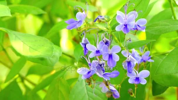 Rotheca myricoides (pillangó Bush) osztályának virágos növény az Árvacsalánfélék családjába. Az őshonos Afrikában és másutt széles körben termesztett. -A  Clerodendrum myricoides Ugandense