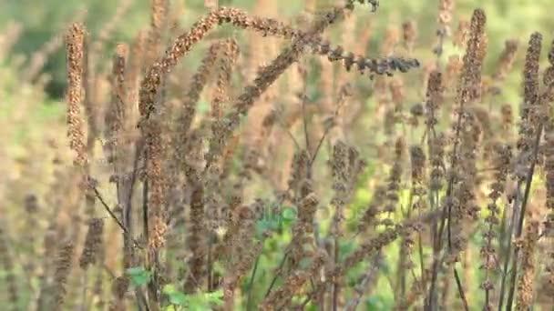 Leonurus cardiaca, známý jako motherwort, je trojhranné v čeledi hluchavkovitých, Lamiaceae. Další běžné názvy patří throw tečkovaná, Lví ucho a lví ocas