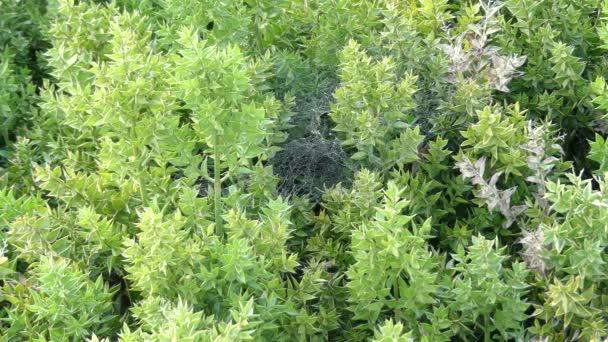 Ruscus Aculeatus, Conosciuto Come Macellaio Ginestra, è Basso Arbusto  Sempreverde Eurasiatico, Con Tralci Di Piatti Conosciuto Come Cladodi Che  Danno ...