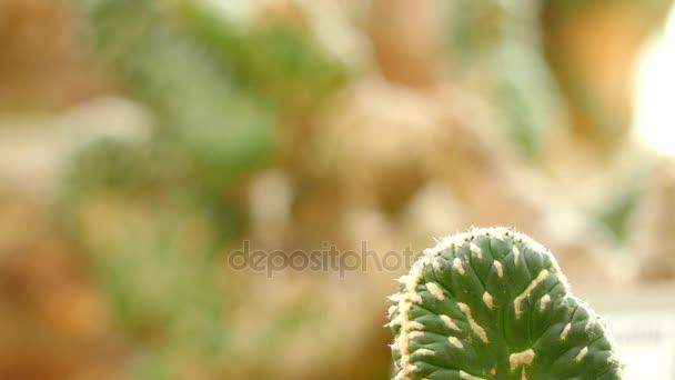 Fókusz átadása: Austrocylindropuntia cylindrica. Bokros vagy treelike kaktusz, akár 14 láb magas, szára szegmensek akár 10 centi hosszú, 2.4 hüvelyk átmérőjű, awl-alakú levelek.