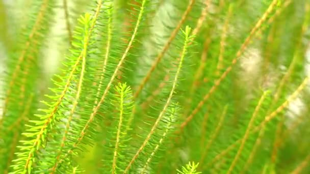 Erica scoparia. Erica is genus of roughly 860 species of flowering plants in family Ericaceae.