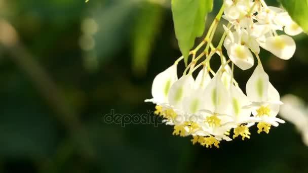 ベゴニア undulata。ベゴニアは...