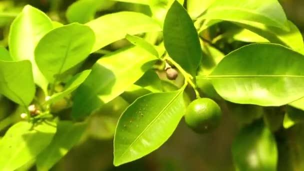 Calamondin (citrofortunella microcarpa oder mitis) ist eine wichtige citrofortunella, was bedeutet, dass es sich um eine intergenetische Kreuzung zwischen einem Mitglied der Gattung Citrus und Kumquat handelt, die zu fortunella gehört..