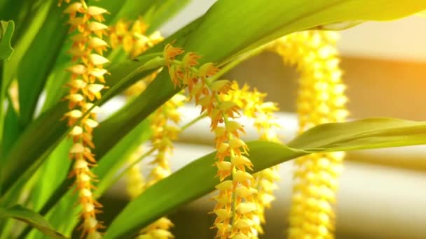 Dendrochilum latifolium. Dendrochilum is genus of epiphytic, lithophytic and a few terrestrial flowering plants in orchid family (Orchidaceae).
