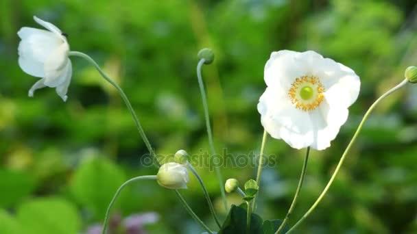 Anemone elegans. Anemone Pulsatilla (említésre virág) és Hepatica szorosan kapcsolódik, egyes botanikusok még közé tartozik, mind ezekre a nemekre, belül Anemone.