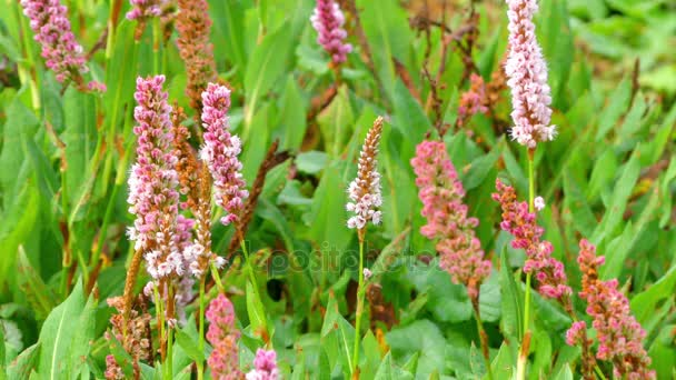 Persicaria affinis is synonym for the accepted species name Polygonum affine, Himalayan bistort, fleece flower, or knotweed, is species of plant in family ...