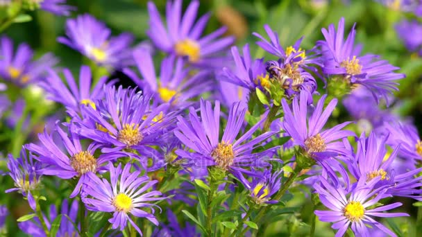 Aster amellus, Evropská Michaelmas-daisy, je vytrvalá bylina z rodu Aster, patřící do rodiny Asteraceae. V řeči květin Michaelmas-daisy symbolizuje rozloučení nebo odjezdu