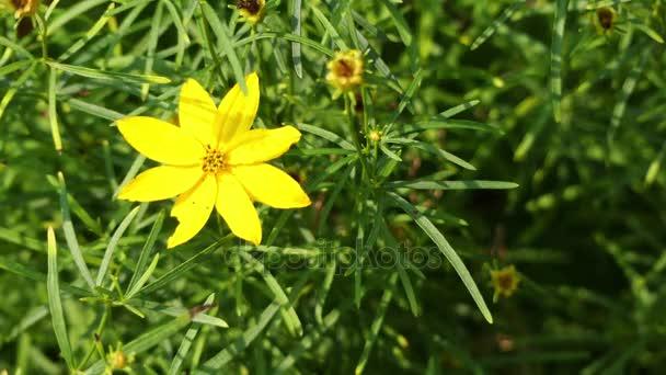 Coreopsis verticillata je severoamerický druh tickseed slunečnice rodiny. Názvy jsou přeslenité tickseed, přeslenité coreopsis, kadeřavou vlákno tickseed, coreopsis listové vlákno a hrnec zlata