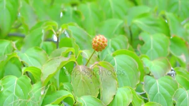 cornus kousa, chiamato anche coreano corniolo, è piccolo decidue ... - Piccolo Giardino Sinonimo