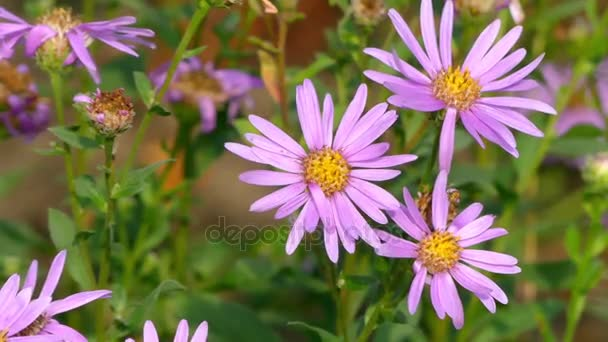 Aster amellus, European Michaelmas-daisy, is perennial herbaceous plant of genus Aster, belonging to Asteraceae family. In language of flowers, Michaelmas-daisy symbolizes farewell or departure.