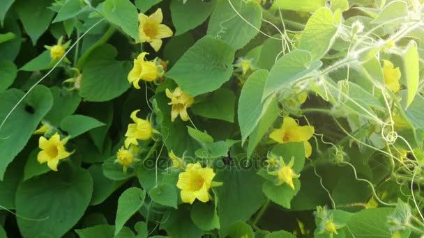 Thladiantha dubia, Mandzsu tubergourd, goldencreeper, vadon burgonya vagy (francia) thladianthe douteuse, fieldweed és ritkán használt dísznövények Cucurbitaceae család.