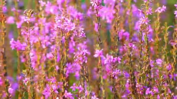 Réti füzény (purple loosestrife), virágzó növény tartozó családi Lythraceae. Egyéb nevek közé tartozik, tüskés loosestrife, vagy lila füzény.