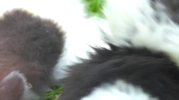 Black-and-white ruffed lemur (Varecia variegata) is Critically Endangered species of ruffed lemur, more endangered one of two which are endemic to island of Madagascar.