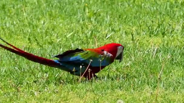 Green-winged macaw (Ara chloropterus), also known as red-and-green macaw, is large, mostly-red macaw of Ara genus. This is largest of Ara genus, of northern and central South America.