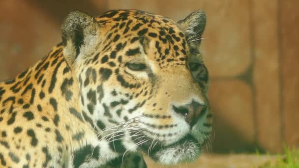 Leopard (Panthera pardus) is one of five big cats in genus Panthera. It is member of family Felidae with wide range in sub-Saharan Africa and parts of Asia.