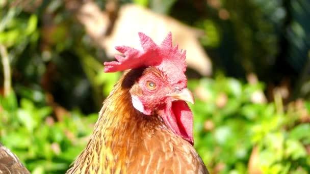 Gallo, noto anche come il galletto o il gallo, è maschio uccelli gallinacei, solitamente maschio pollo (Gallus gallus). Polli maschi maturi meno di un anno di età sono chiamati Galletti
